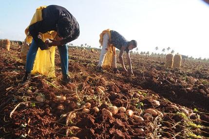 Ya comenzó la cosecha de papa en la CPA Cuba-México, con buenos rendimientos hasta el momento / Foto: Otoniel Márquez